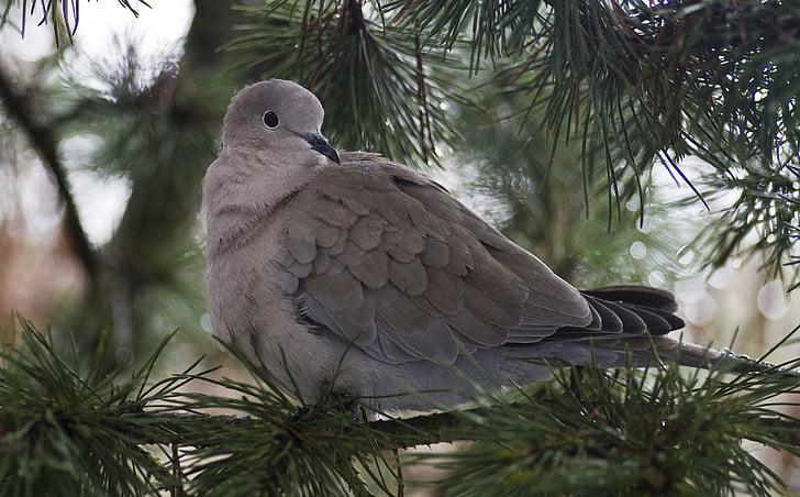 dove, collared, garden, bird, nature, animal, wildlife
