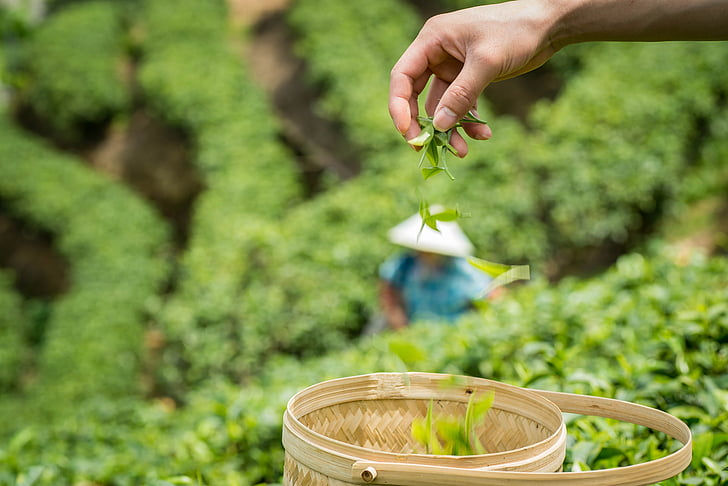 jar, Alpine, čajová záhrada
