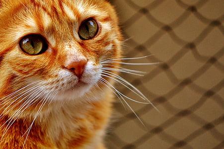 котка, червен, Смешно, Сладък, скумрия, Тигър, Сладко
