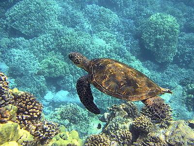 morske želve, Havajska morska želva, zelena morska želva, velikan morska želva, Havaji, želva, tropskih
