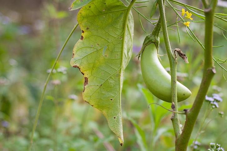 vaisių, Baklažanas, daržovių, žalia, Bio, iš prigimties