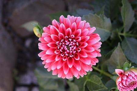 Dahlia, lill, õis, Bloom, Aed, aia taimede, Dahlia Aed