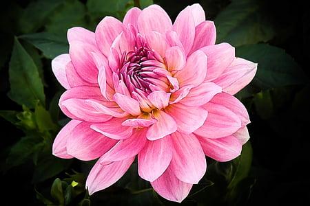 Dahlia, õis, Bloom, Dahlia lill, lill, suve lõpus, Dahlia Aed