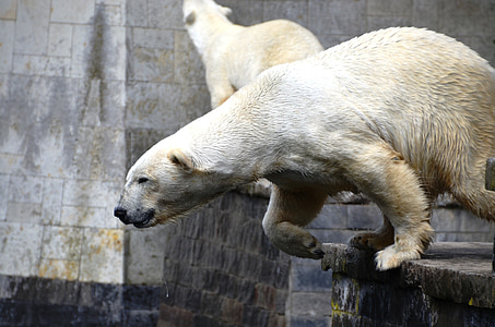 jump, ursus maritimus, predator kind, bear, ursidae, animal, mammal
