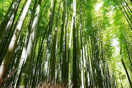 bamboo, japan, kyoto, green, nature, growth, tree