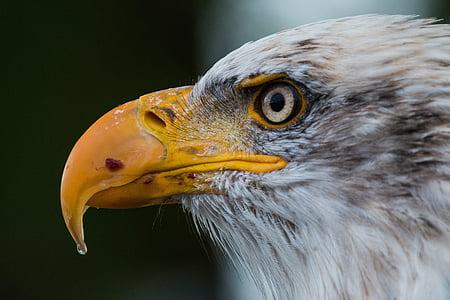 orol bielohlavý, Haliaeetus leucocephalus, Adler, Raptor, dravých vtákov, vták, pierko