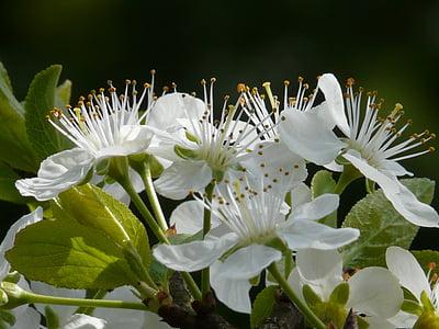 Plum blossom, plommon, Blossom, Bloom, träd, våren, vit