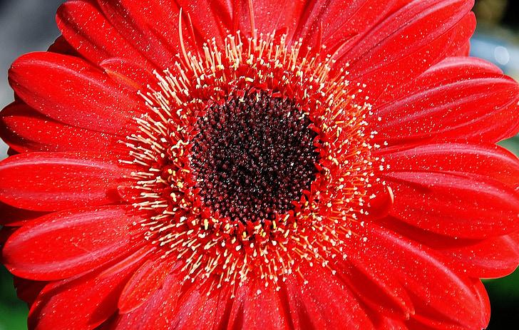 Gerbera, germin, flor, vermell, primavera, fragància, romàntic