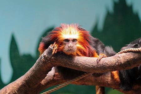 mico, Tití lleó de cap daurat, animal, zoològic, animals, vida silvestre, natura