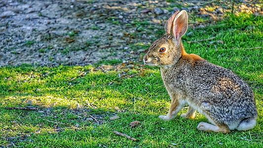 hare, rabbit, bunny, animal, wildlife, nature, natural