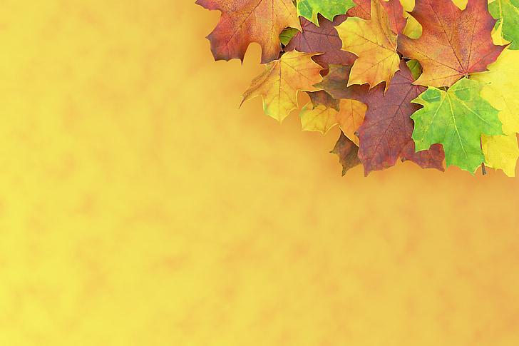 lönn, hösten, dyka upp, dekoration, färgglada, lämnar, bakgrund