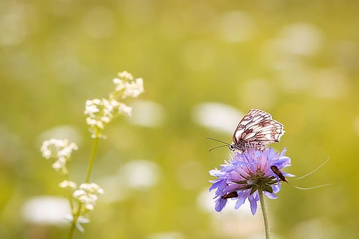papallona, papallona de tauler d'escacs, Consell de dones, edelfalter, l'estiu, Prat, Prat de flors