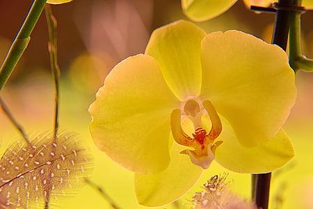 Orchid, õis, Bloom, Sulgege, orhidee õitsema, taim, kollane