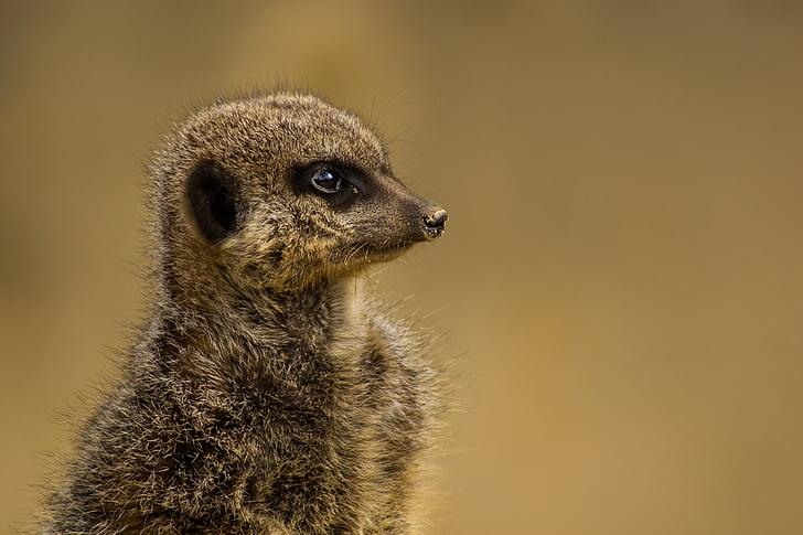 animal, animal photography, macro, meerkat, wildlife