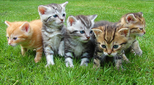 animals, cats, cute, feline, kittens, pets, domestic Cat