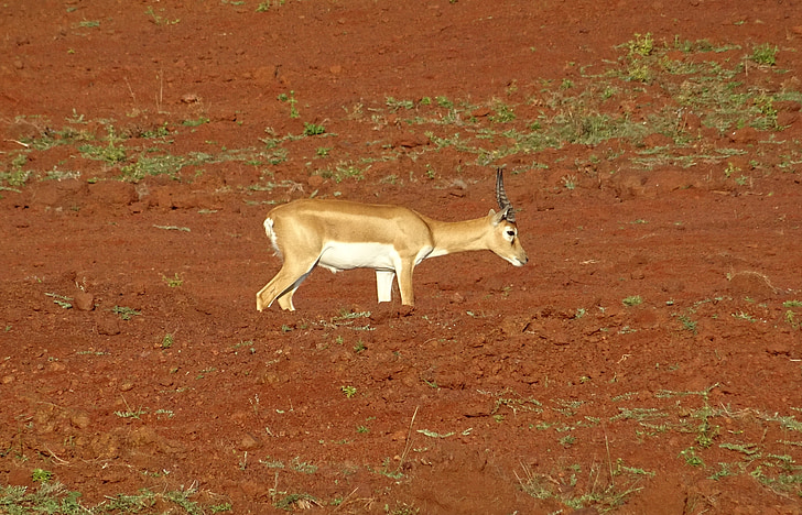 blackbuck, Antelope, Wild, eläinten, nisäkäs, cervicapra, eläimistö