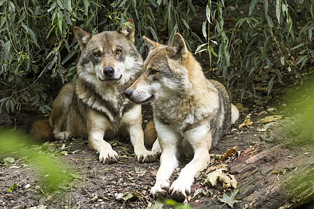 wolf, canis lupus, european wolf, predator, pack, two wolves, dormant