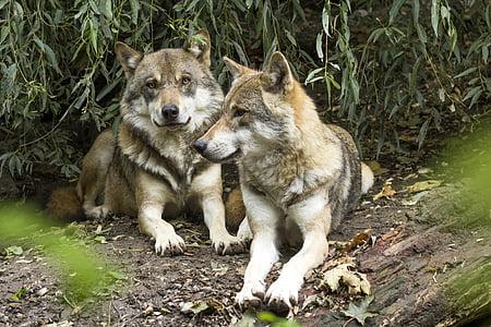 вълк, Canis lupus, Европейски вълк, Хищникът, пакет, два вълка, пасивните
