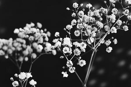 en blanc i negre, branca, flors, natura, flor, arbre, planta