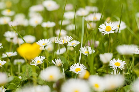 daisies, spring, may, picnic, poznan, grass, flowers
