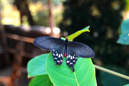 papallona de passió, papallona, tropical, papallona més gran, papallona tropical