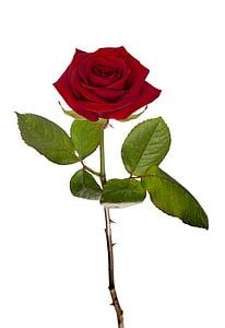 Rosa, vermell, rosa vermella, flor, macro, flor, Rosa - flor
