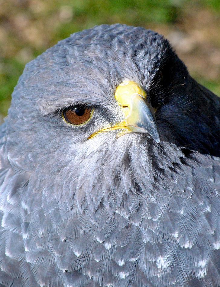 Ave, природата, животните, птица, наблюдение на птици, орел, граблива птица