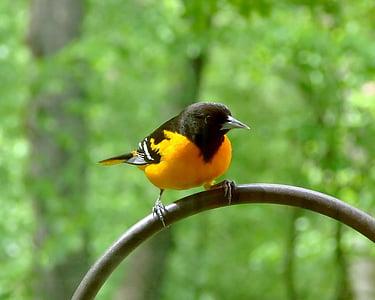 ptica, ptičje, Baltimore vuga, vuga, priroda, biljni i životinjski svijet, pero
