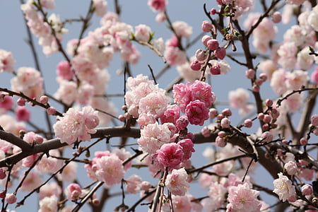 cherry, spring, japan, cute, flower, cherry blossom, blossom