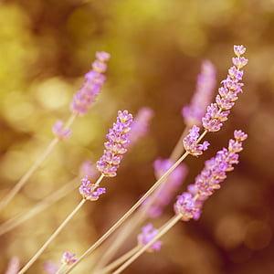 lavender, flower, plant, blossom, bloom, purple, pink