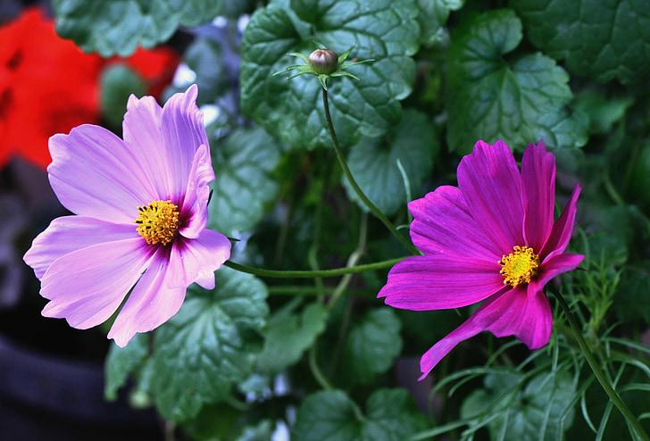 cosmos plant, cosmea, flower, petal, leaf, floral, green