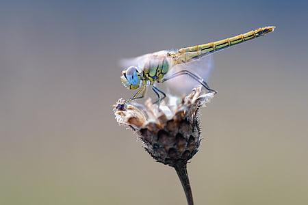 đầu heath dragonfly, con chuồn chuồn, vĩ mô, Thiên nhiên, côn trùng, động vật, đóng