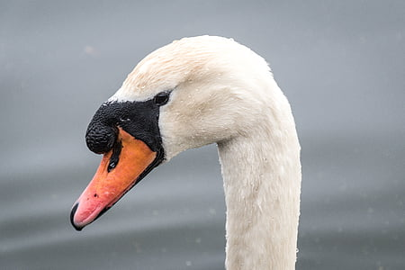 blanc, ànec, Cigne, ocell, bec, coll, animal