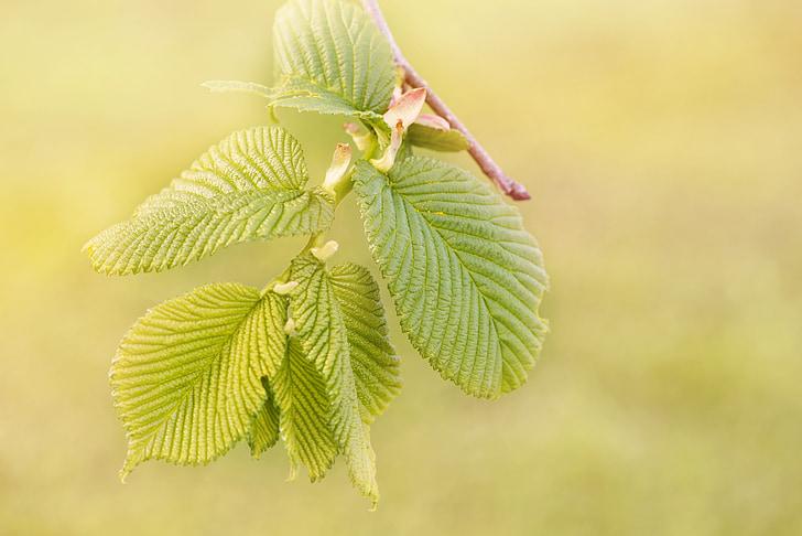 motor, listy, Zelená, závesné elm, rastlín, Zavrieť, Príroda