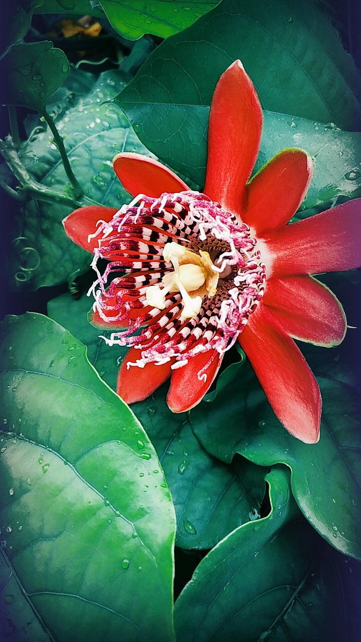 flor de la passió, Linda, vermells vibrants