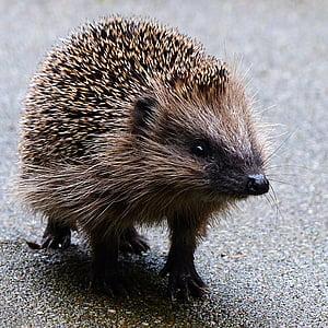 životinja, sisavac, jež, igličar, ubirati, vrt, biljni i životinjski svijet
