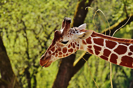 giraffe, zoo, animal, animal portrait, tierpark hellabrunn, munich, nature