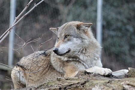 wolf, wild animal, wildlife park, canis lupus, carnivore, dog, animal