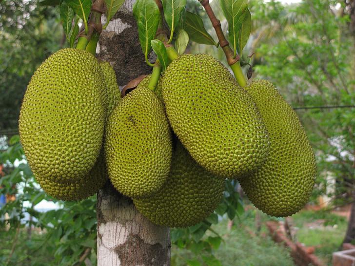 Kathal, fruita, aliments, Artocarpus heterophyllus, natura, saborosa, l'Índia