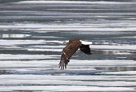 zeearend, Eagle, kale, vliegen, Raptor, vogel, natuur