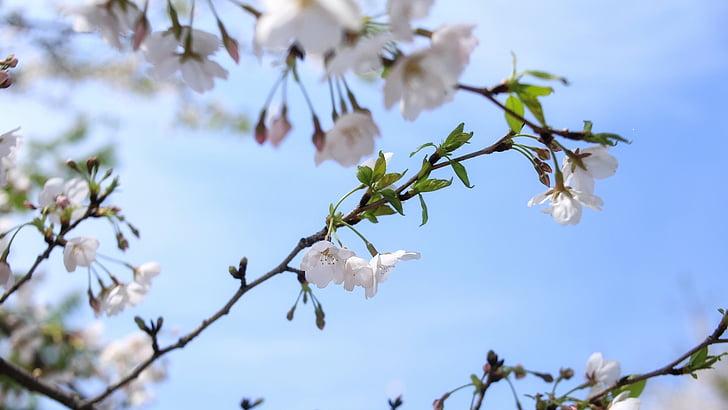 concepció artística, primavera, flor del cirerer