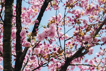 Sakura, cvijet, roza cvijet, proljeće, trešnja cvjetovi, cvijet, drvo