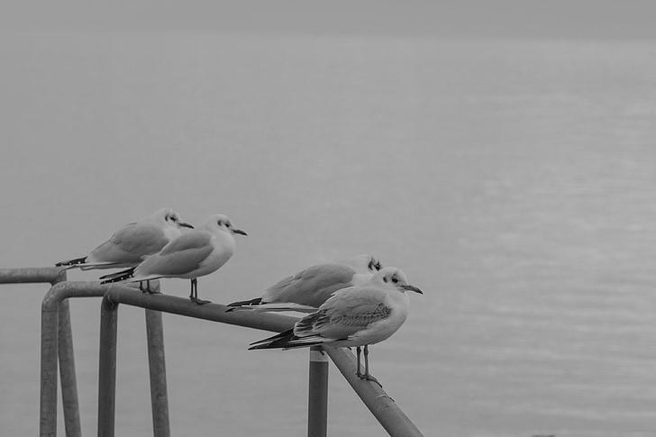 Чайка, seemoeve, животни, voegle, вода птица, уеб, природата