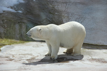 bear, white bear, zoo, summer, animal, animals, polar bears