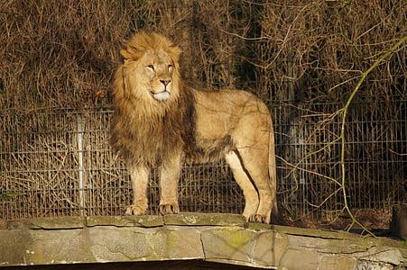 lion, zoo, cat, mane, lion's mane, nature, wildcat