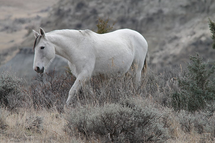wild horse, mare, medora, north dakota, equine, pferd, gray