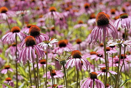 Coneflower, bunga, topi matahari, Blossom, mekar, Echinacea purpurea, merah