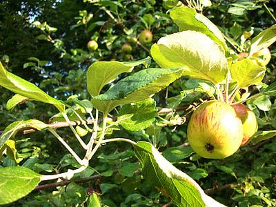Apple, õunad, Õunapuu, õuna, loodus, Orchard, puu