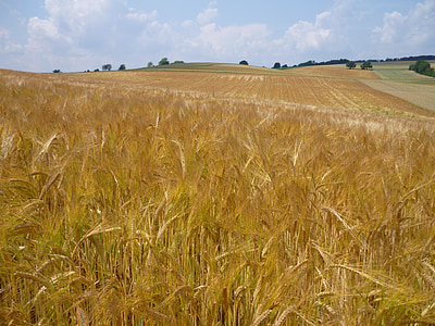 nisu väli, nisu, teravilja, põllumajandus, maastik, taim, Scenic