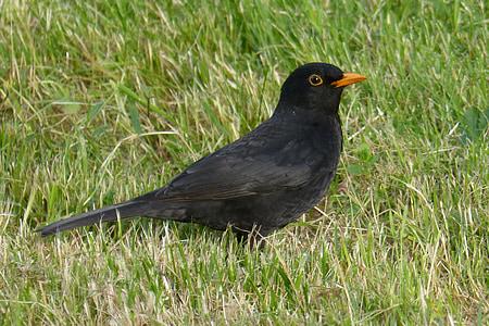 blackbird, bird, black, grass